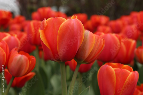 Spoed canvasdoek 2cm dik Tulp Spring tulips in full bloom, Tulip Festival in Ottawa, Canada
