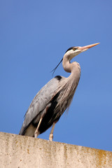 Great blue heron standing on concrete wall