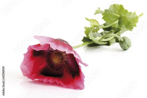 canvas print picture Blaumohn Blume, geschnitten