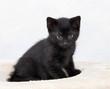 Hauskatze,schwarzes Kätzchen