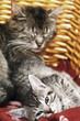 Hauskatzen,Kätzchen im Korb liegen,Portrait