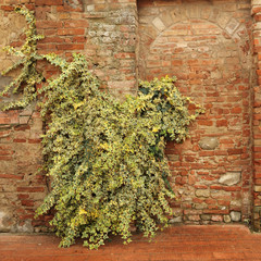 Hedera helix - ivy plant climbing on antique brick wall