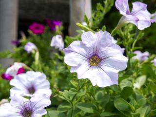 Petunia Flower.