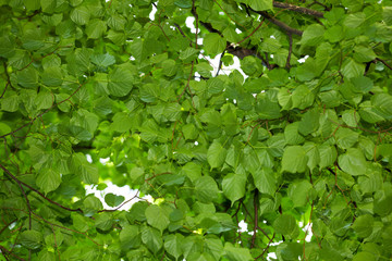 Lime tree foliage background
