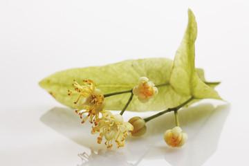 Lime Blätter und Blüte auf weißem Hintergrund
