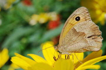 Бабочка на жёлтом цветке крупным планом