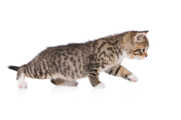 adorable tabby kitten walking