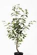 Persimmon Baum im Blumentopf ( Diospyros )