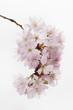 Nahaufnahme der japanische Kirschblüte