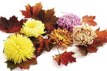 Chrysanthemen Blüten und Herbstblätter(Chrysanthemum indicum)