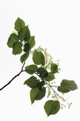 Zweig von Kalk Blätter und Blütevor weißem Hintergrund