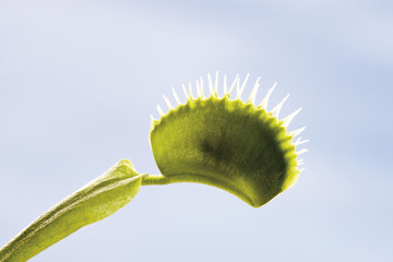 Venusfliegenfalle ( Dionaea muscipula ),close-up