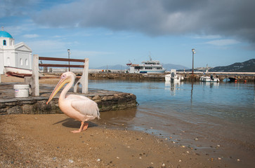 Symbol of the island - pelican Petros, Mikonos, Greece