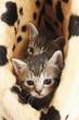 Hauskatzen,Kätzchen im Korb,Portrait,close-up