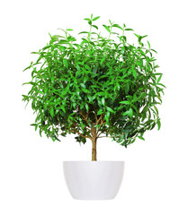 Houseplant - yang myrtle a potted plant isolated over white
