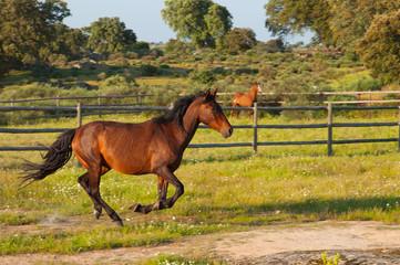 Horse running in a green field