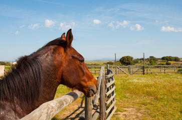 Brown spanish horse in a fenced field
