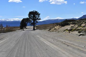Araucaria en Villa Pehuenia, Neuquén, Patagonia