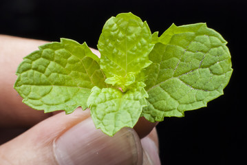 Mint leaves isolated on Hand