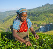 Tea Picker Picks Leaves
