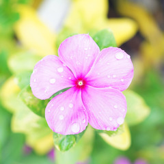 raindrops on pink vinca on blur background