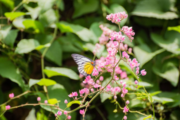 Redspot Sawtooth butterfly feeding on pink flowers