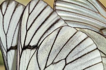 Alas de mariposa. Aporia crataegi. Aurora o Blanca del Majuelo.