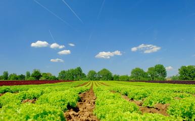 Salatfelder mit Kopfsalat und Lollo Rosso