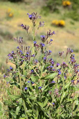 Anchusa officinalis. Lengua de buey.