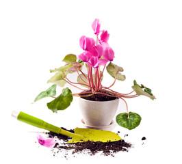 Planting cyclamen flowers