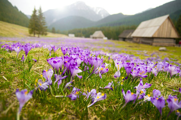 Spring meadow in mountains full of crocus flowers in bloom