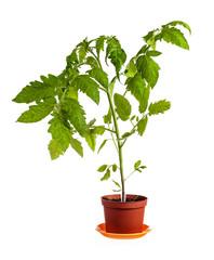 Tomato plant isolated over white