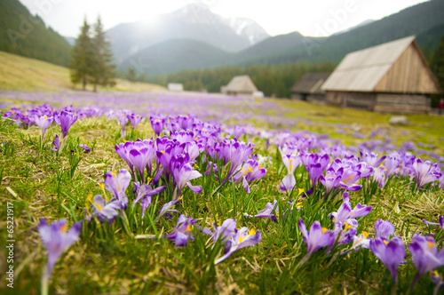 Foto op Canvas Krokussen Spring meadow in mountains full of crocus flowers in bloom