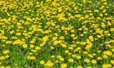 Fototapeta Spring Dandelion Weeds