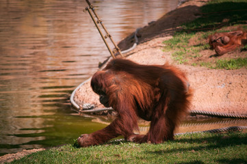orangoutang in Lisbon Zoo