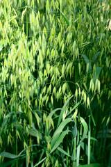 oat - avena sativa