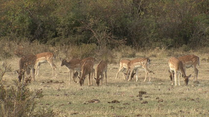 Fallow Deer hinds in harem during rut in autumn mountain forest.