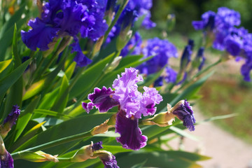 blue and purple iris flowers drooping bright