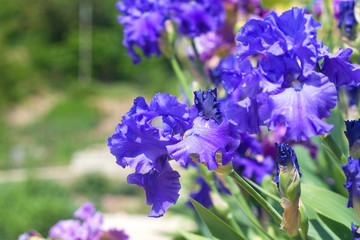 bright blue iris flowers with bowed head