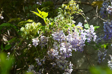purple wisteria flowers garomatnoy the tender sunlight