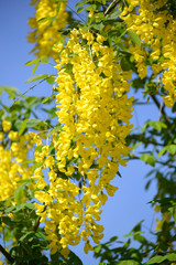 "Blossoming bobovnik anagirovidny - ""Golden shower"" (Laburnum ana"