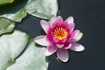 lily in a pond with bright pink petals