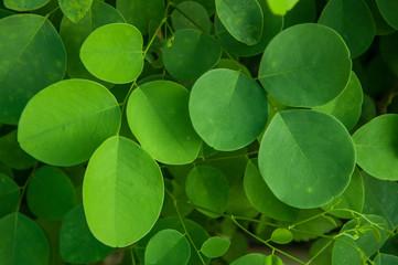 Siamese rosewood leaf
