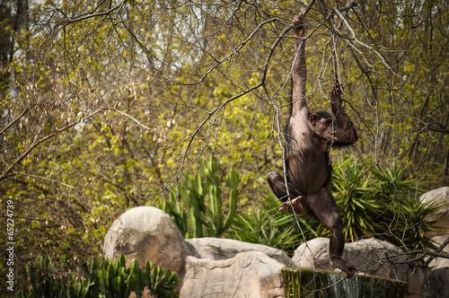 Foto op Aluminium Aap chimpanzee in Lisbon Zoo