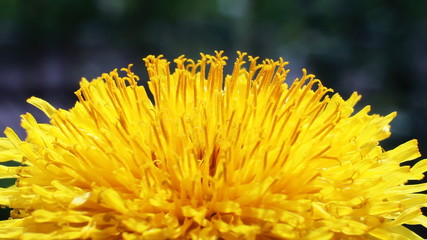 Yellow Flower Petals