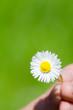 gänseblümchen blüht