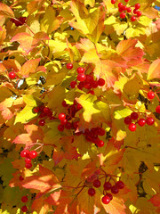Colors of autumn. Yellow and red leaves of viburnum