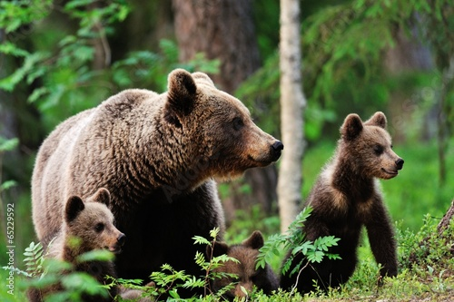 Brown bear with cubs in forest - 65229592