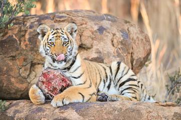 A young tiger having its well-deserved feast