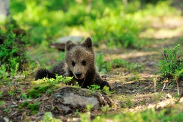 Brown bear cub resting in forest
